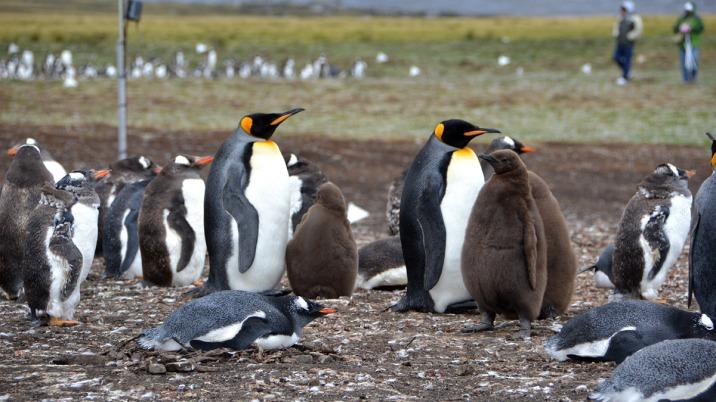 Colonia de pinguins nas Falklands (Foto: Hélio Higuchi).
